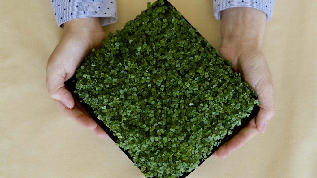 Честно о бизнесе на микрозелени
