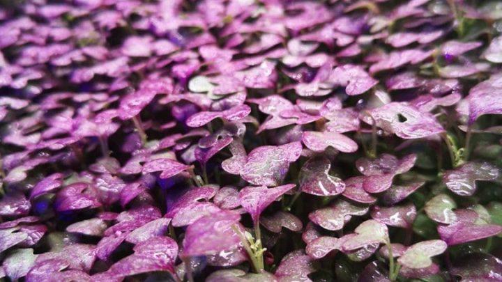 40% скидки на микрозелень гороха