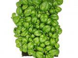 Кресс-базилик (микрозелень, в субстрате)